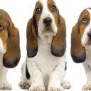 Είναι ένα basset hound κατάλληλο για μένα;